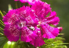 Nelken: Pure Blütenpower im Rüschen-Look - [LIVING AT HOME]
