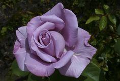 Lavender Roses, Lavender Color, Purple Roses, Blue Moon Rose, Outside Plants, Hybrid Tea Roses, Beautiful Flower Arrangements, Love Rose, Dream Garden