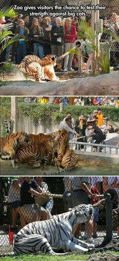 This is awesome because he big cats are getting a workout while getting more used to strangers and the visitors get to have fun as well it's a win win win!