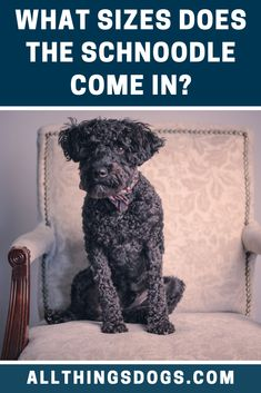 There are three different Schnoodle sizes: miniature, standard and giant. Although the standard Schnauzer came first, all three sizes are recognized by the American Kennel Club. Read on for more details.  #schnoodle #schnoodlesize #schanuzerpoodlemix Miniature Schnoodle, Miniature Dog Breeds, Best Dogs For Kids, Schnoodle Puppy, Standard Schnauzer, Different Dogs, Aggressive Dog, Poodle Mix, Family Dogs