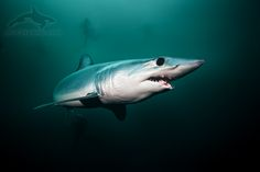 mako shark, Isurus oxyrinchus, žralok mako