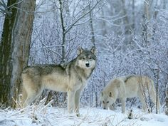 If you love animals or even fascinated with them, then you will surely love to have a wolf wallpapers. Here is an amazing collection of Free Wolf Wallpapers For Desktop Wolf Images, Wolf Photos, Wolf Pictures, Time Pictures, Winter Pictures, Hd Photos, Animal Pictures, Tier Wallpaper, Wolf Wallpaper