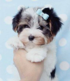 Lovable Teacup Yorkie