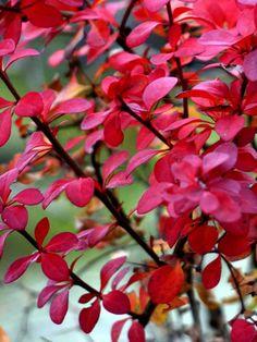 Häckberberis, Berberis thunbergii - Zon 1-5. Som fullvuxen 1,5 meter hög buske. Tätt och kompakt växtsätt. Små, ljusgröna blad om får vackra höstfärger. Gula blommor på våren, droppliknande lackröda bär på hösten. Trivs i både sol till halvskugga på de flesta jordar.