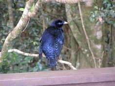 Satin Bower Bird | Flickr - Photo Sharing!