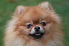 Name: Samuel, Breed: Pomeranian