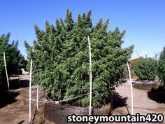 This huge cannabis plant produced 11 pounds of bud. Source: http://growweedeasy.com/weird-or-what
