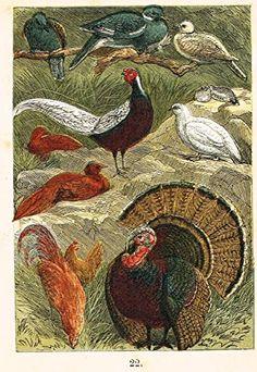 "Buffon's Birds - ""DOVE, PHEASANT, PTARMIGAN, TURKEY ETC."" - Chromolithograph - 1869"