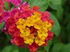 Lantana - a pungent scent, but I like it.