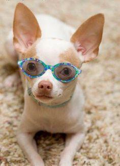 . #dogs #animal #chihuahua