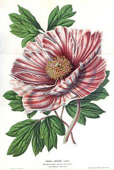 ree peony, moutan. Paeonia suffruticosa var. vittata [as Paeonia moutan var. vittata] (1852) [L. Stroobant]