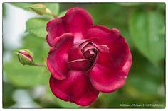 Rose_GD_0030.JPG by Gilbert Dorléans on 500px