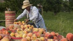 The famous and juicy Palisade peaches are rounded up in Colorado wine country - See more at: http://www.colorado.com/articles/unexpected-flavors-beyond-wine-colorados-wine-country#sthash.6uvZUY3b.dpuf