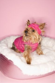 Yorkshire Terrier dog wearing pink outfit on pink dog bed. Stock Photo