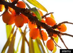 Rejuveniix contains Sea Buckthorn ~  The Sea Buckthorn berry is grown in the Himalayas, and is being touted as the latest Superfruit. It aids weight loss, staves off dementia, boosts cognitive function, does wonders for the skin, etc.