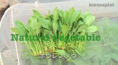 ホウレンソウの手入れと収穫   timein.jp