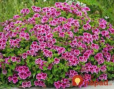 Specializing in rare and unusual annual and perennial plants, including cottage garden heirlooms and hard to find California native wildflowers. Types Of Flowers, Types Of Plants, Love Flowers, White Flowers, Beautiful Flowers, Flower Seeds, Flower Pots, Garden Plants, Indoor Plants