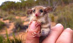 Opossums pygmée australien