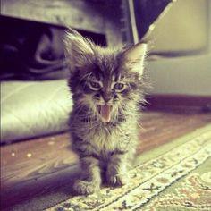 #Cats #Cat #Kittens #Kitten #Kitty #Pets #Pet #Meow #Moe #CuteCats #CuteCat #CuteKittens #CuteKitten #MeowMoe Ahhh, 'just-woke-up' look. ... https://www.meowmoe.com/31200/