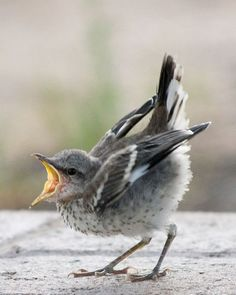 Hungry Juvenile Mockingbird Proud And Courageous