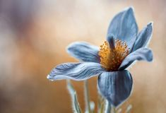 Pasque by Mandy Disher
