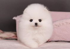 Teacup Pomeranian- its so fluffy you can't see its ears!