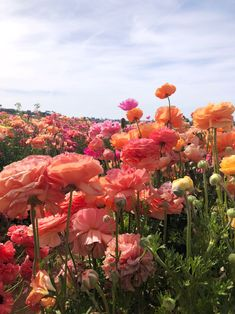 Dreaming of the Flower Fields / Carlsbad, CA. - Dreaming of the Flower Fields / Carlsbad, CA., fields The Effec - Tropical Flowers, Blooming Flowers, Wild Flowers, Beautiful Flowers, Field Of Flowers, Flowers Pics, Sun Flowers, Flower Pictures, Spring Flowers