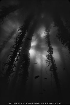The quality of light in the kelp forest can really be something truly special.  Here, a black and white image of the kelp forest at Point Lobos of the Monterey Bay shows this play of light and shadow.