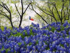 """The bluebonnet to Texas is what the shamrock is to Ireland, the cherry blossom to Japan, the lily to France, the rose to England and the tulip to Holland."" ~ Jack Maguire (historian)"