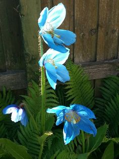 My Himalayan blue poppy with ferns in my shade garden. 2015