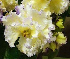 African-Violet-EK-Solnechnyj-Malchik-plug-plant-Russian-variety