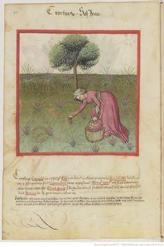 IBN BUTLÂN , Tacuinum sanitatis 15. Jhd Latin 9333  Folio 37v