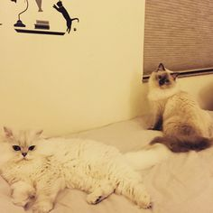 Read me a story#cats #kitten #lovecats #ragdoll #chinchilla #Persian #kitten #meow #lovecat