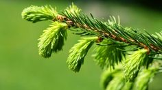 Beauty Charm:    An article about the tree buds and its benefits on health , plus a recipe for syrup buds. We expect the blog , kisses !                      ...