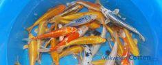 Angebot Kaltwasserfische wie Koi aus eigener Zucht, Goldfische, Orfen, Störe, Biotop Fische. Bild: Viskwekerij Corten