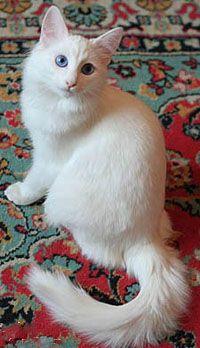 Turkish Angora cat.....gorgeous!!!! Turkish Angora Cat, Angora Cats, Pretty Cats, Beautiful Cats, Animals Beautiful, Simply Beautiful, Laperm, Races De Chats, Exotic Shorthair