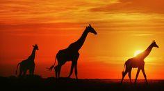 atardecer en la sabana africana - Buscar con Google