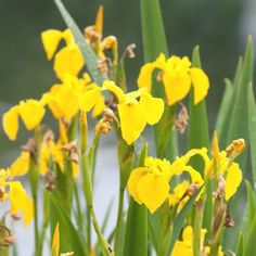 Vivara Natuurbeschermingsproducten>Gele lis
