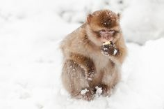 Last weekend, we had a lot of snow. Our Barbary macaques have a thick winter fur and actually enjoy the snow!  Photo: Petra Sonius