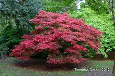 Red Dragon (Japanese Maple)