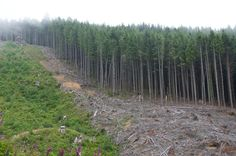 Protect Forest Habitat from Clear-Cut Logging - Target: U.S. House Minority Leader, Nancy Pelosi  Goal: Stop efforts of anti-environmentalists in Congress to destroy our national forests with logging and road development.