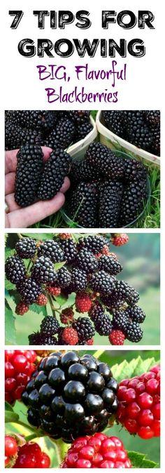 tips for growing blackberries