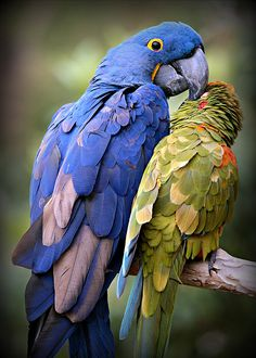 """FAA artist, Stephen Stookey's """"Bird's of a Feather"""" - Birds of a feather flock together. This hyacinth macaw and green parrot are best of friends! Kinds Of Birds, All Birds, Love Birds, Tropical Birds, Exotic Birds, Colorful Birds, Pretty Birds, Beautiful Birds, Animals Beautiful"""