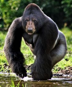 Bear vs Gorilla Face Swaps, Black Bear, Memes, Animals, Animales, American Black Bear, Animaux, Animal, Animais