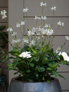 Replace spring bulbs with white cosmos or wand flower (Gaura lindheimeri). Lawn And Garden, Garden Pots, Moon Garden, Balcony Garden, White Flowers, Beautiful Flowers, Potted Plants Patio, House Plants, Pot Jardin