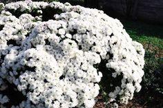 Octombrie in gradina - Ama Nicolae Salvia, Plant, Sage