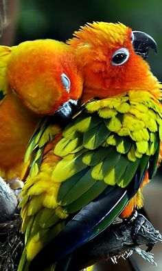 Sun Conures - The Sweetest & Smartest Birds Cute Birds, Pretty Birds, Beautiful Birds, Animals Beautiful, Exotic Birds, Colorful Birds, Bird Pictures, Animal Pictures, Conure