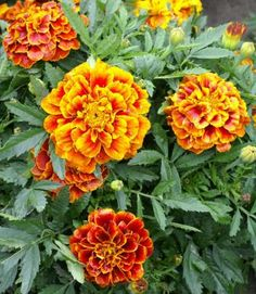 Bo Jangle French Marigold Seeds | French Marigold Seeds - Queen Sophia Tagetes patula nana double