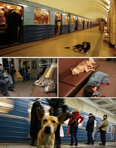 Metro dogs, Moscow. An astounding 35,000 stray dogs have actually figured out how to get from point A to point B, getting on and off at their favorite stops.