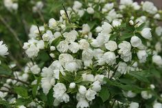 Buy mock orange Philadelphus 'Manteau d'Hermine': Position: full sun or partial shade Soil: fertile, well-drained soil Rate of growth: average Flowering period: June and July Hardiness: fully hardy small compact only 1.5 high